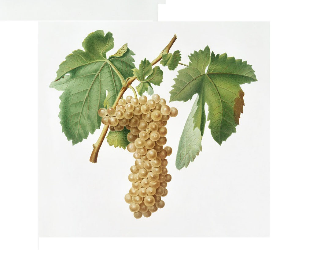 Trebbiano grapes draw